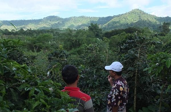 Kebun kopi menghadap Gunung Kaba