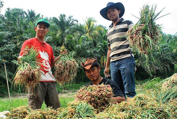 """Pemuda Tani SPI di Sumatera Utara Panen Bawang Merah. Toko Tani Indonesia seharusnya bisa """"menampung"""" produk petani kecil seperti bawang ini."""