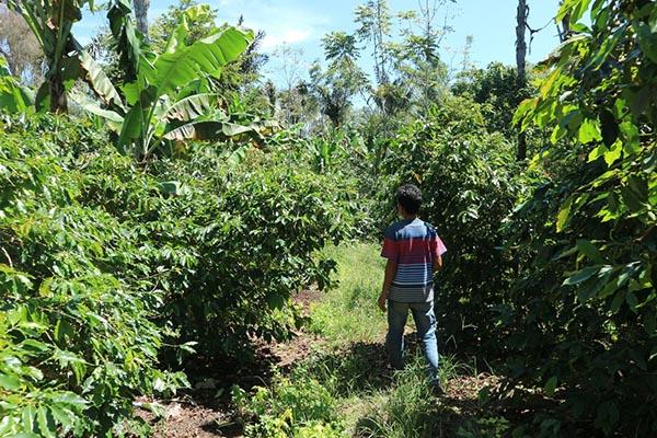 Ladang kopi di Rohdearni Ambarisan.